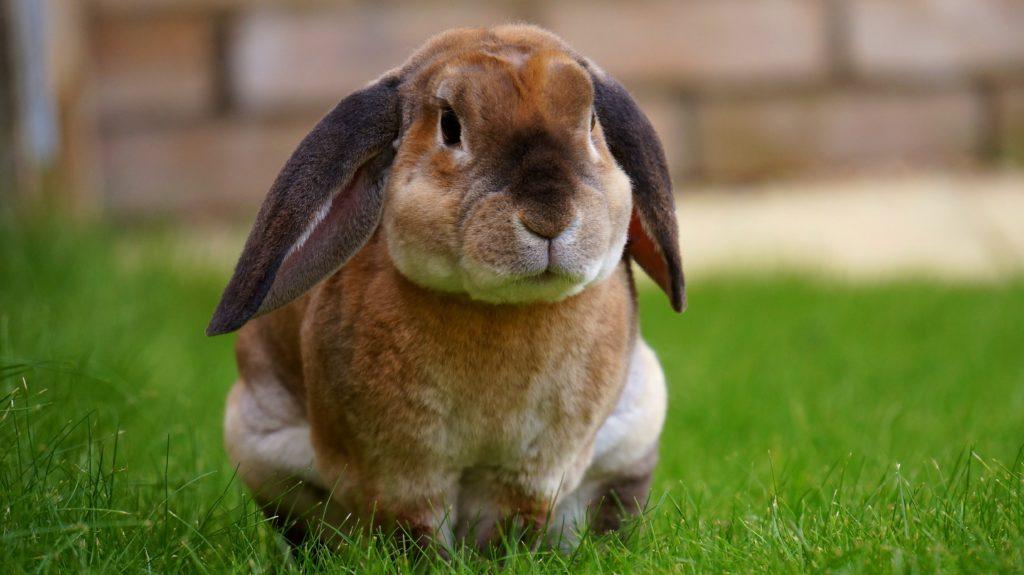 królik kupowanie królika